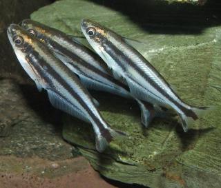 Pareutropius buffei