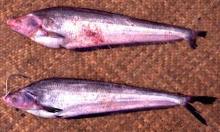Hemisilurus moolenburghi