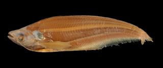 Kryptopterus palembangensis