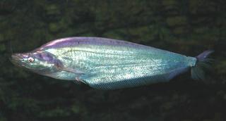 Phalacronotus apogon