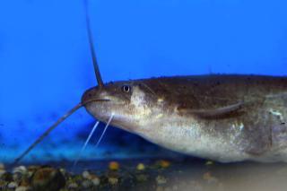 Pterocryptis berdmorei