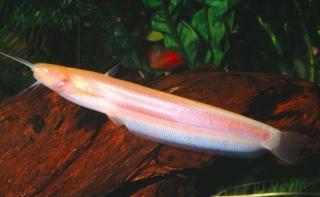 Pterocryptis buccata