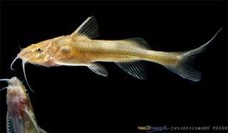 Ayarnangra estuarius