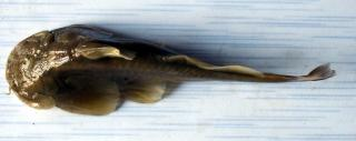 Creteuchiloglanis gongshanensis