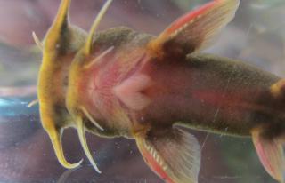 Glyptothorax chimtuipuiensis