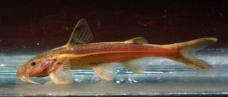 Glyptothorax deqinensis