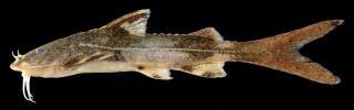 Glyptothorax lampris