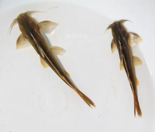 Glyptothorax laosensis