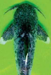 Glyptothorax malabarensis