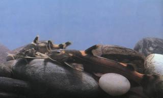 Glyptothorax quadriocellatus