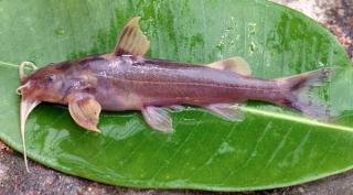Glyptothorax zanaensis