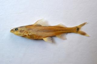 Nangra nangra