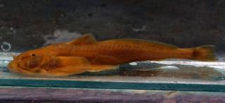 Pseudexostoma brachysoma
