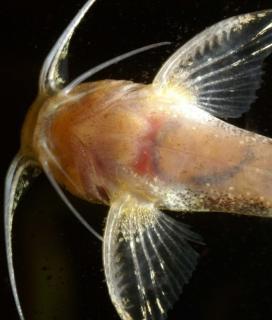 Pseudolaguvia foveolata