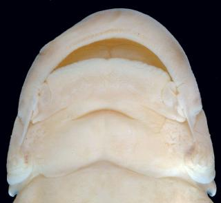 Pseudostegophilus nemurus