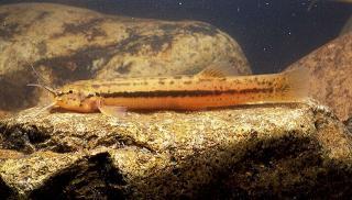 Trichomycterus itatiayae