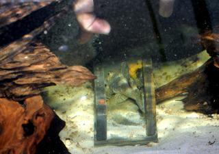 """Sunny"" guarding eggs. His dorsal fin is lifted to prevent the eggs being seen from outside the cave"