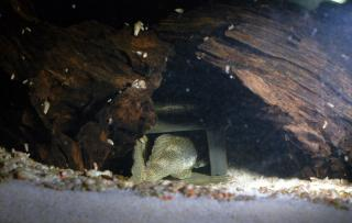 """Betty"" missing from her spot. The male blocking the entrance of the cave"
