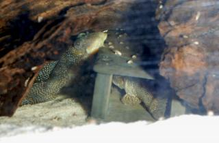 Pair in cave. Part of the tail of the female can be seen under the male's left pectoral fin