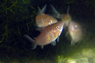 Spawning pair - female to front with egg clasped in pelvic fins