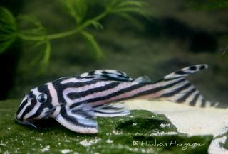 Hypancistrus zebra. This fish has almost single-handedly created an entire generation of catfish lovers.