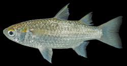 Paramugil parmatus - Click for species page