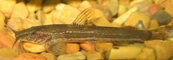 Amphilius platychir