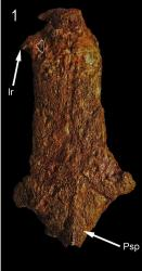 †Ariopsis ariopsilus - Click for species page
