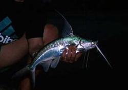 Bagre marinus
