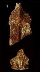 Bagre urumacoensis