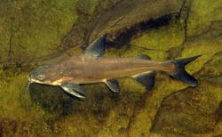 Cinetodus froggatti - Click for species data page
