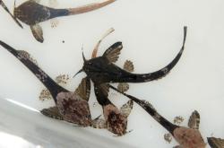 Pterobunocephalus depressus