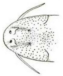 Astroblepus caquetae