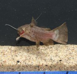 Liosomadoras morrowi