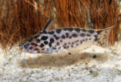 Trachelyichthys sp. `RIO TAPAJOS` - Click for species page