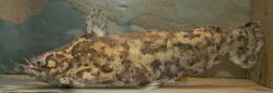 Trachelyopterus sp. `RIO XINGU`