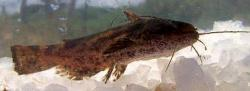 Trachelyopterus striatulus - Click for species data page