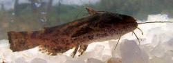 Trachelyopterus striatulus
