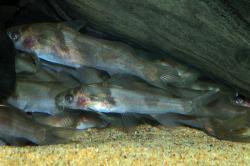Batasio affinis