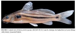 Mystus prabini - Click for species page