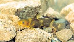 Tachysurus brevicorpus - Click for species page