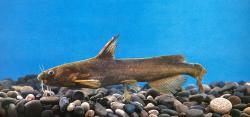 Tachysurus crassirostris - Click for species data page