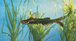 Tachysurus eupogon - Click for species data page
