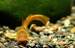Tachysurus koreanus - Click for species data page