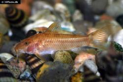 Aspidoras sp. (1) - Click for species data page