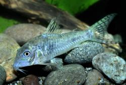 Corydoras(ln1) aurofrenatus - Click for species data page