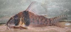 Corydoras(ln1) orcesi - Click for species data page