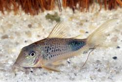 Corydoras(ln1) ourastigma - Click for species data page