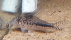 Corydoras(ln1) sp. (Cw143) - Click for species data page