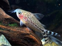 Corydoras(ln4) mamore - Click for species data page